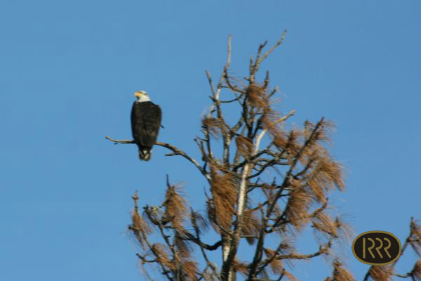 A bald eagle surveys its territory